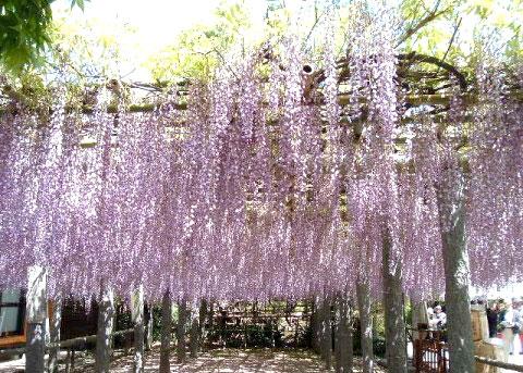 美しく咲き乱れる武蔵寺の藤棚。見ごろは4月下旬~5月初旬。